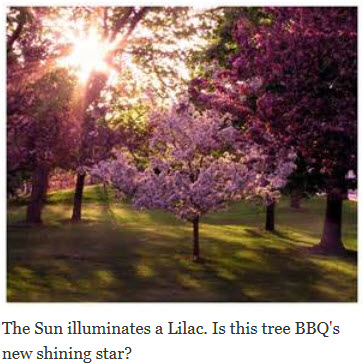 Flower Power: The Surge of Lilac Wood in Competition BBQ